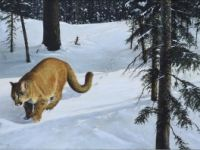 Forest trail cougar